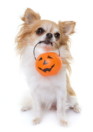 chihuahua and halloween in front of white background Stock Photo