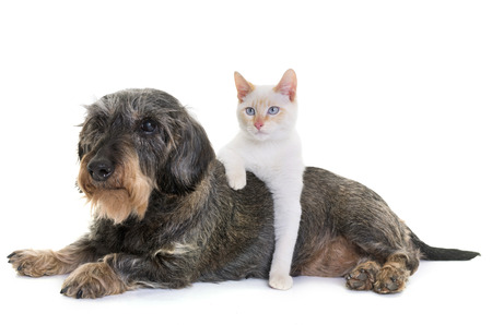 old dachshund  and kitten in front of white background