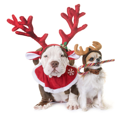 puppy american bully, chihuahua and christmas in front of white background Foto de archivo