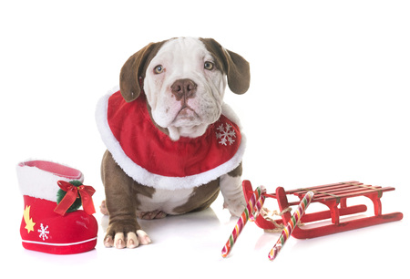 puppy american bully and christmas in front of white background