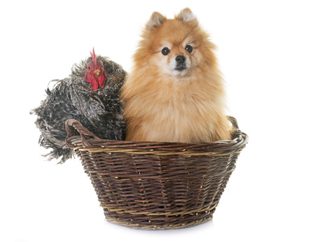 pomeranian spitz  and chicken in front of white background