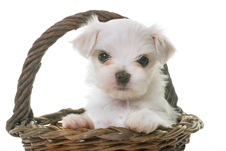 puppy maltese dog in front of white background Stock Photo