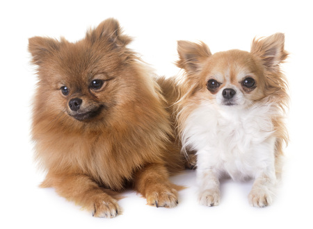 pomeranian spitz and chihuahua in front of white background Banque d'images