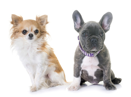 puppy french bulldog and chihuahua in front of white background Stock Photo
