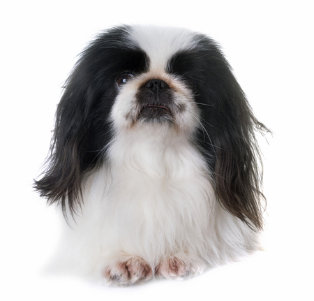 Pekingese dog in front of white background