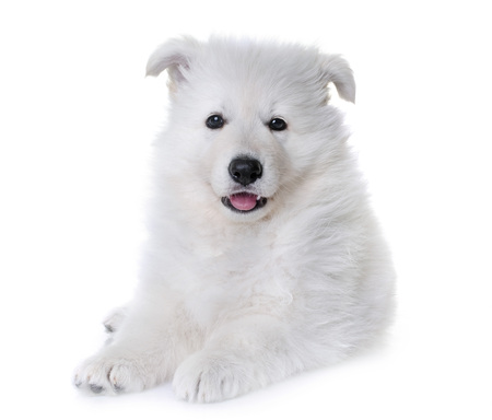 puppy White Swiss Shepherd Dog in front of white background
