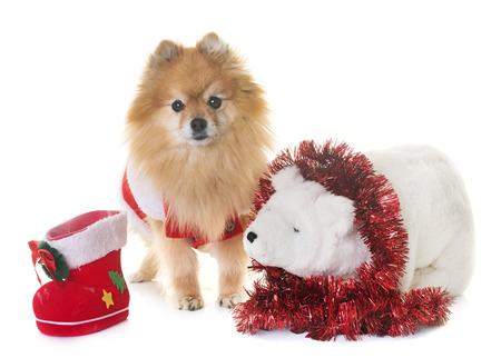 pomeranian 스 피 츠와 흰색 배경 앞에 크리스마스