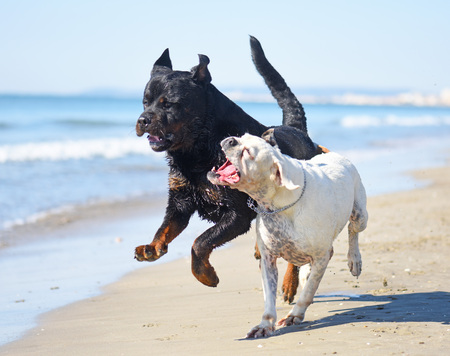 fighting rottweiler and boxer on the beach