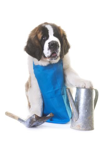 puppy saint bernard gardener in front of white background