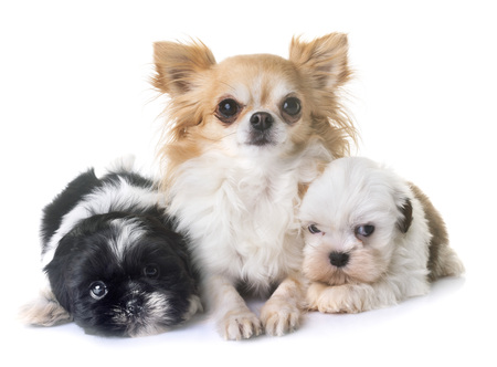 puppies shih tzu and chihuahua in front of white background Stock Photo