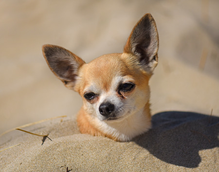chihuahua in burying in the sand on the beach