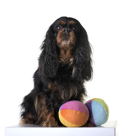 cavalier king charles in front of white background Banco de Imagens