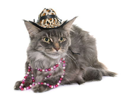 Maine coon cat and hat in front of white background