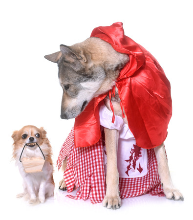 Little Red Riding Hood Saarloos wolfdog and chihuahua in front of white background