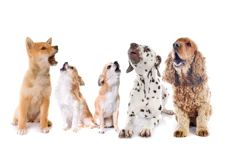 Dogs howling in front of white background Stockfoto
