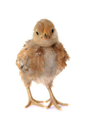 Bantam chick in front of white background Stock Photo