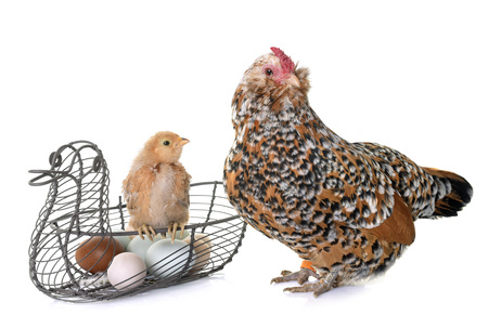Barbu dAnvers chick, chicken and egg in front of white background