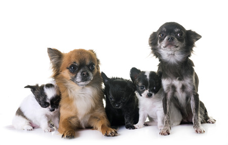 A group of chihuahua in front of white background