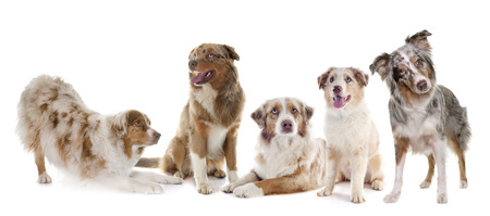 group of australian shepherds in front of white background