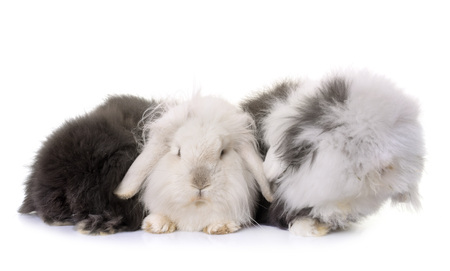 lop-eared  rabbits in front of white background Reklamní fotografie