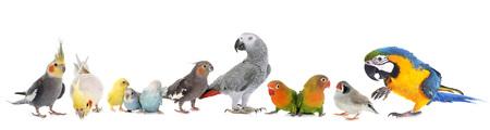 gemeenschappelijke huisdierenparkiet, Afrikaanse Grijze Papegaai, dwergpapegaaien, Zebravink en Cockatielin voorzijde van witte achtergrond