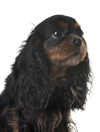 cavalier king charles in front of white background 免版税图像