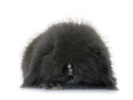 lop-eared  rabbit in front of white background Reklamní fotografie