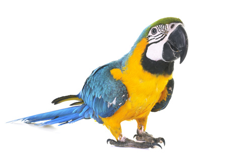 Blue-and-yellow macaw in front of white background 写真素材