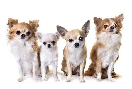 group of chihuahua in front of white background Stok Fotoğraf