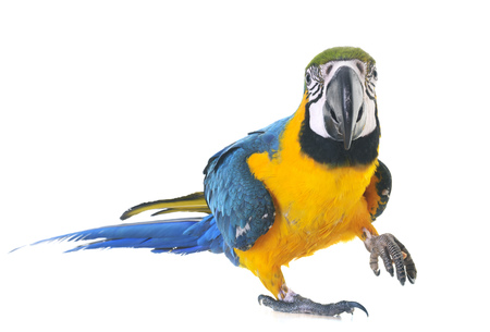 Blue-and-yellow macaw in front of white background 版權商用圖片