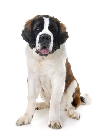 young saint bernard in front of white background 版權商用圖片