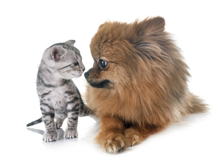 bengal kitten and pomeranian in front of white background