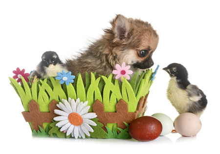 puppy chihuahua and chicks in front of white background Stock Photo