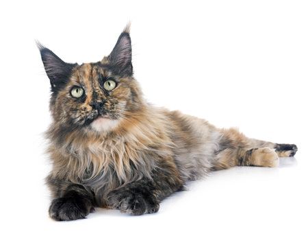 maine coon cat in front of white background Banco de Imagens