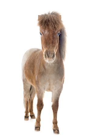 Falabella miniatuurpaard voor witte achtergrond