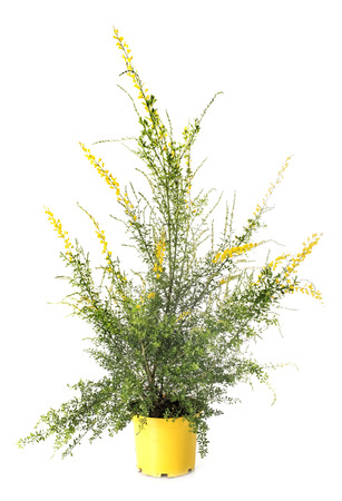genista maderensis in front of white background Stock Photo