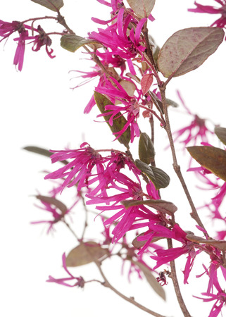Loropetalum chinense in front of white background