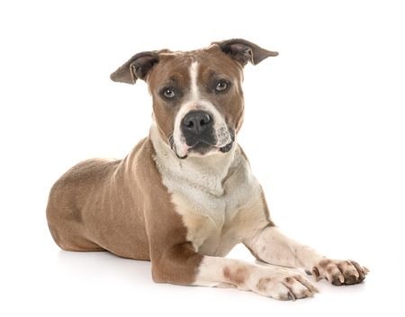 american staffordshire terrier in front of white background