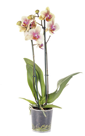 moth orchids in front of white background 免版税图像