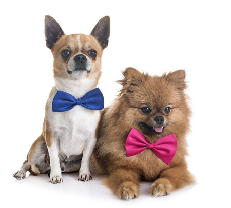 young chihuahua and pomeranian  in front of white background