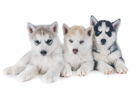 puppies siberian husky in front of white background