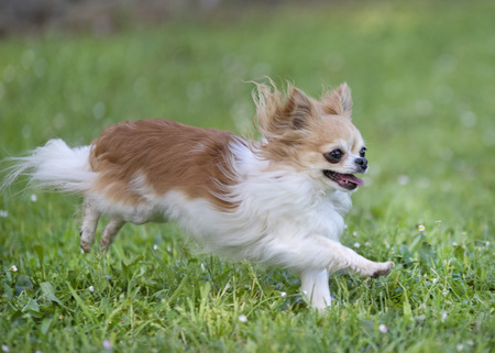 purebred chihuahua in a garden in spring Banque d'images