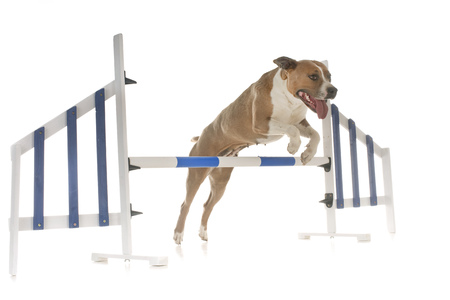 jumping american staffordshire terrier in front of white background