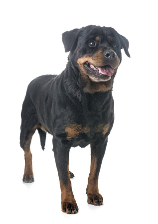 adult rottweiler in front of white background Stock Photo