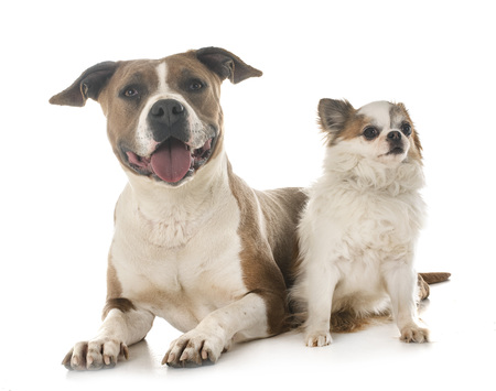 american staffordshire terrier and chihuahua in front of white background Stock Photo