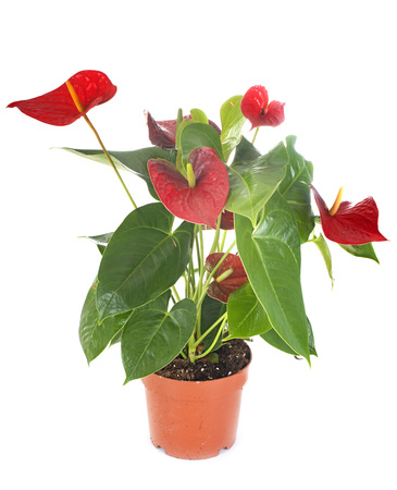 anthurium plant in front of white background