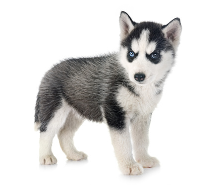 puppy siberian husky in front of white background