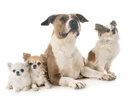 american staffordshire terrier and chihuahuas in front of white background Stock Photo