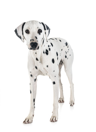 dalmatian dog in front of white background Stock Photo
