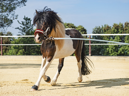 training van een pony met uitval en halster